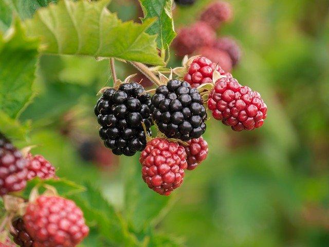 Brombeerblätter und Brombeerfrüchte als Heilpflanze in der Pferdefütterung